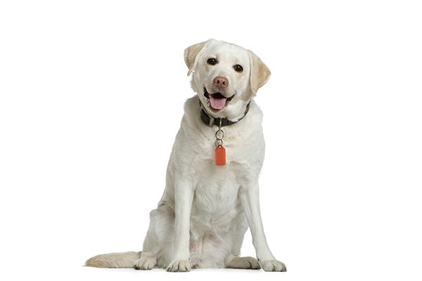 A yellow lab sitting down.