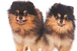 Two Pomeranians.