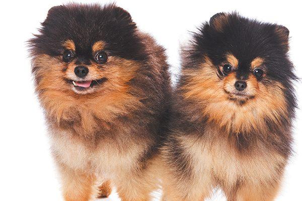 Two Pomeranians.