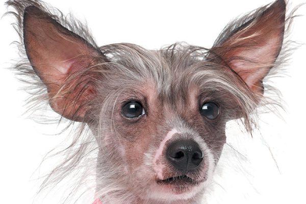 A bald dog.
