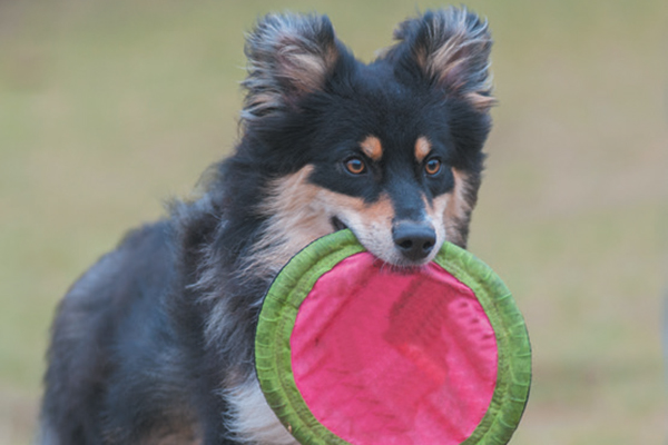 A happy dog running with a Frisbee.