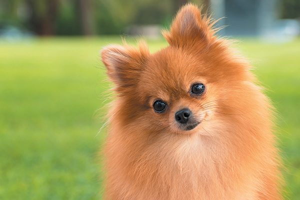 A Pomeranian in the grass.