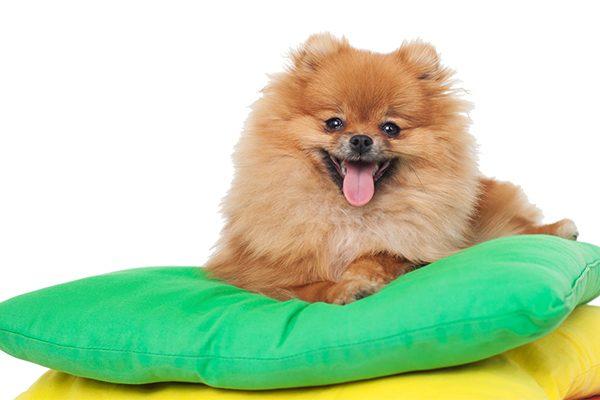 A Pomeranian relaxes on pillows.