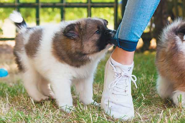 A puppy chewing on a pant leg.