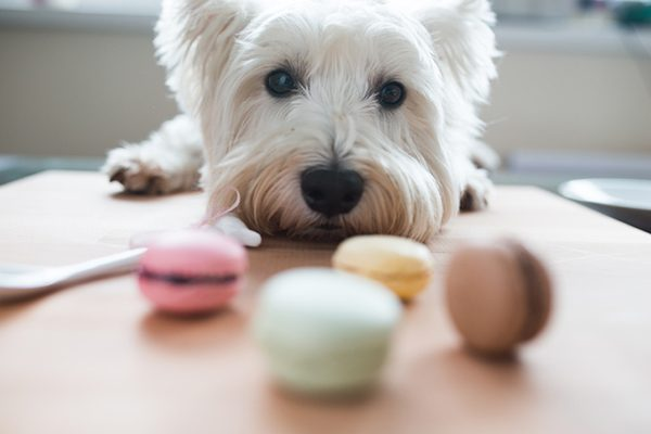 A dog eyeing some macarons.