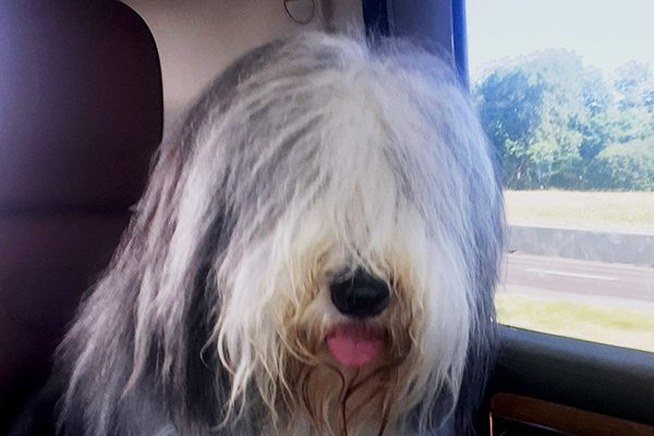 A Bearded Collie.