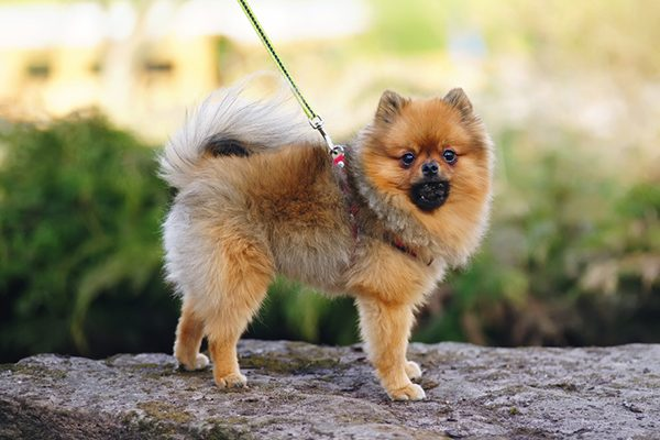 A fluffy dog out for a walk. Photography by Eudyptula/Thinkstock.