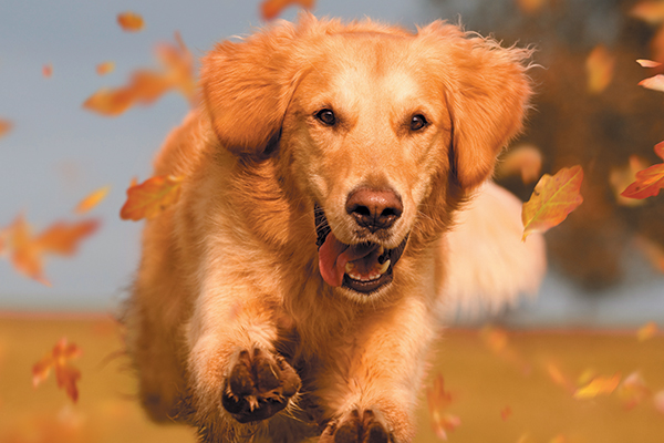 A Retriever dog running through fall leaves.