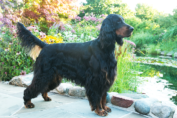 A Gordon Setter dog.