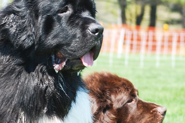 Two Newfoundland dogs.