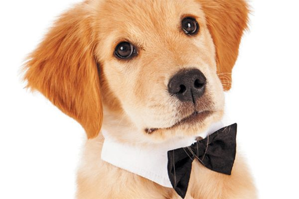 A Golden Retriever puppy in a bowtie.