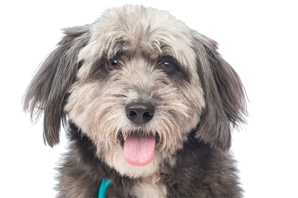 A shaggy dog with a stethoscope.