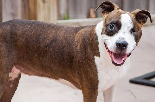 Star, a Pit Bull mix who inspired The STAR Project.