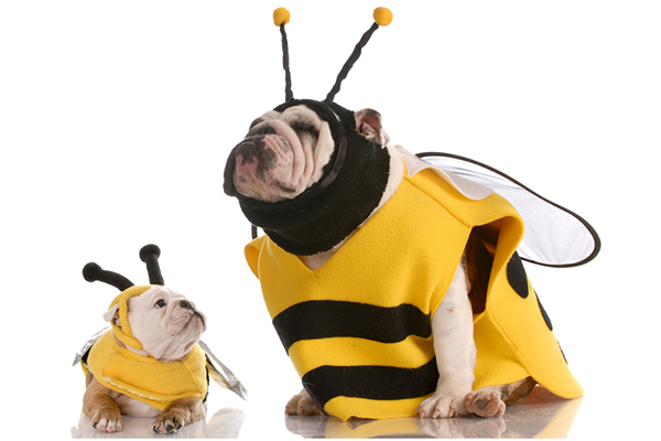 Two bulldogs dressed up as bees.