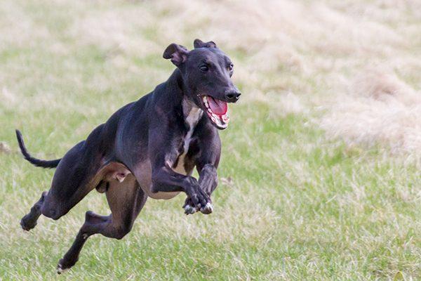 A whippet dog running.