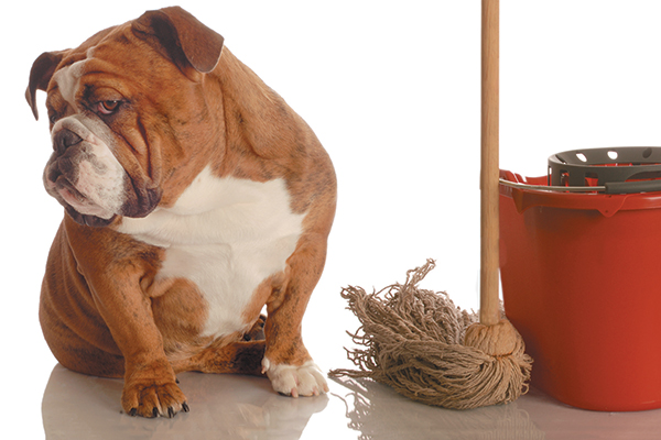 A bulldog next to a cleaning mop and bucket.