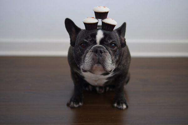 A dog enjoying Sprinkles Pupcakes.