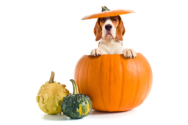 how to feed pumpkin to dogs