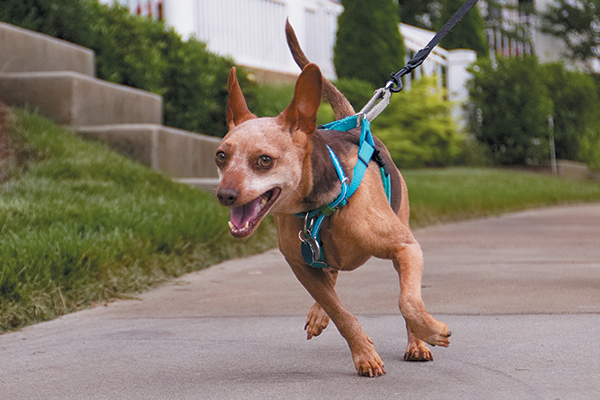 A dog pulling on his leash wearing a harness.