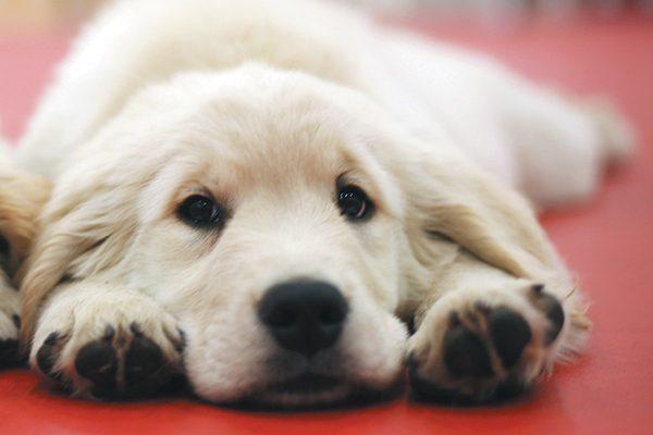 A Golden Retriever puppy relaxing on the floor.