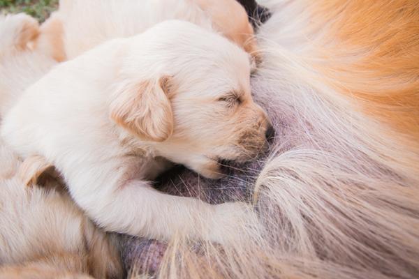 A nursing puppy.