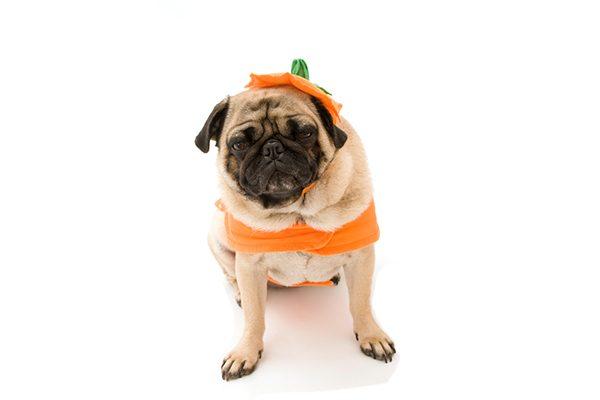 A pug in a pumpkin costume.