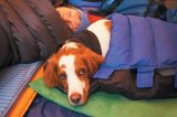 A dog in a sleeping bag in a camping tent.