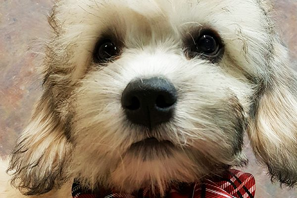 Yes! Terriers like the Dandie Dinmont Terrier can be a match with first-time dog owners!