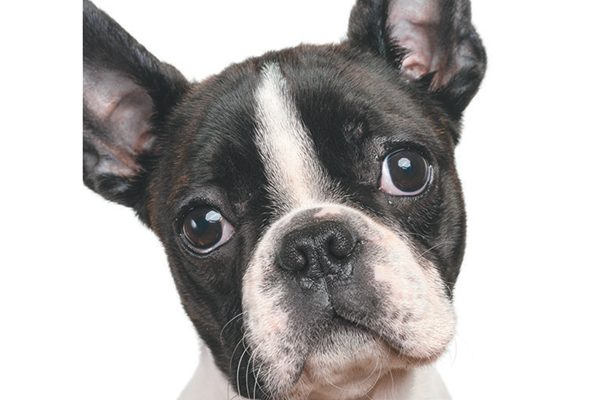 Boston Terriers are a flat-faced dog breed.