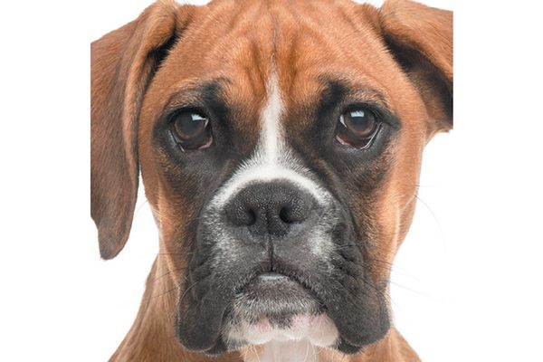 Boxers are brachycephalic dogs.