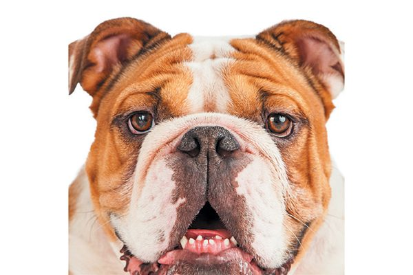 Flat-faced dogs suffer from dental issues.