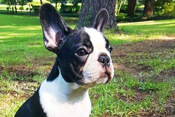 A French Bulldog pup.