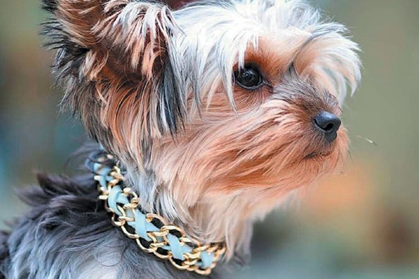 French Bullevard collar.