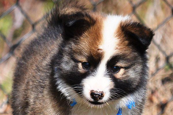 An Icelandic Sheepdog pup.