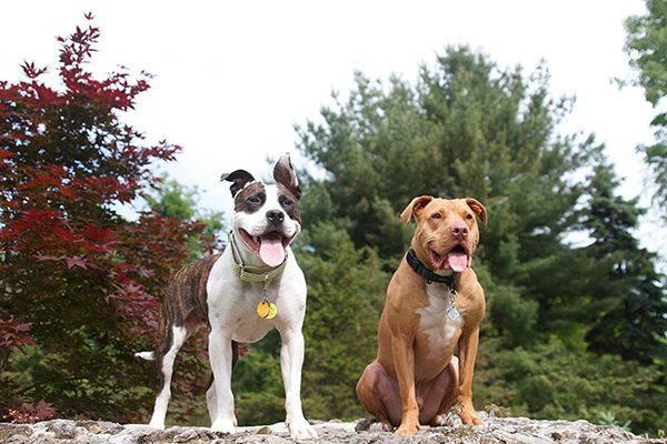 Montreal is targeting Pit Bulls with city-wide Breed-Specific Legislation.