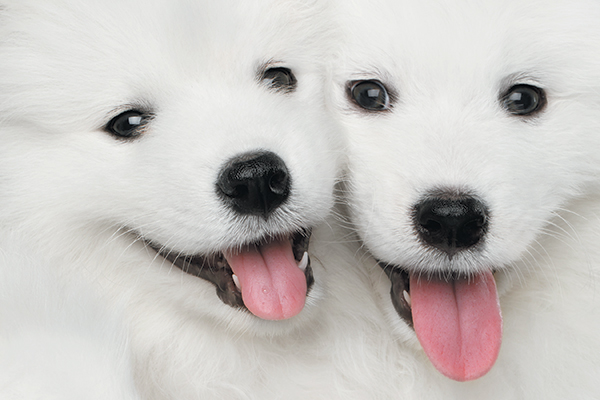 Two white dogs together.