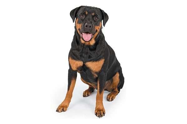 A Rottweiler sitting with his tongue out.