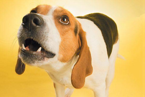 A beagle dog barking or howling.