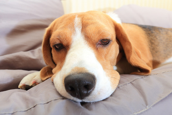 A beagle sleeping and looking sick or tired.