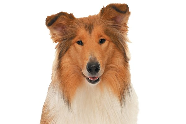 A Collie dog.