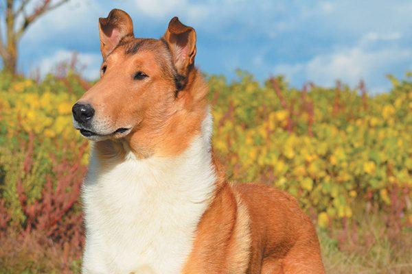 A Collie dog.