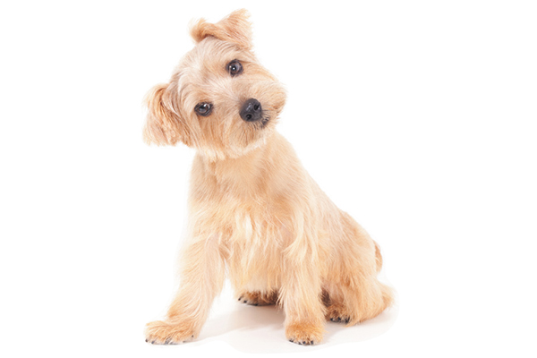 A confused dog with his head tilted to the side.