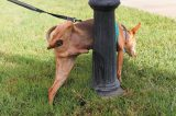 A dog marking or peeing on a lamppost.