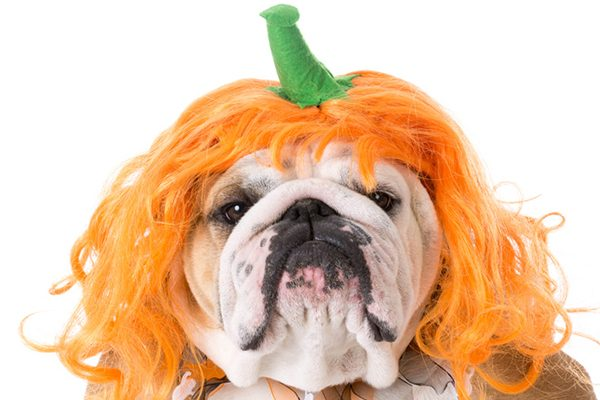 A dog with a Halloween pumpkin wig on.