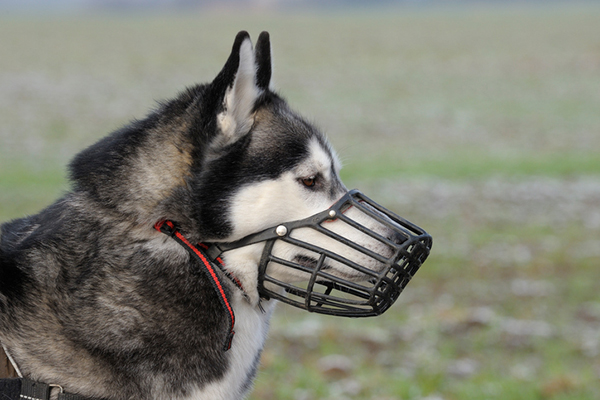 A dog wearing a basket muzzle.