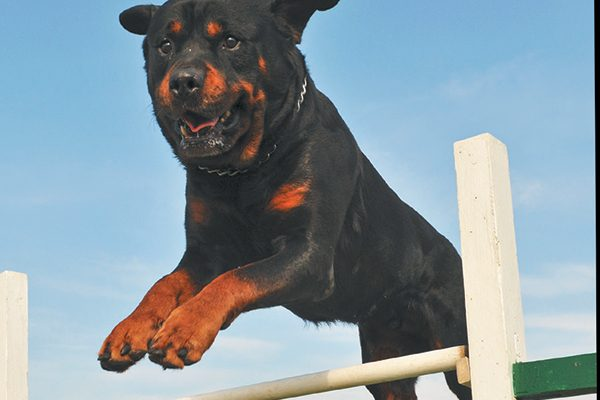 A Rottweiler jumping over a fence.