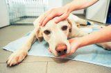 A sick dog at the vet.