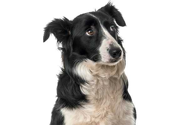 A black and white dog looking worried.