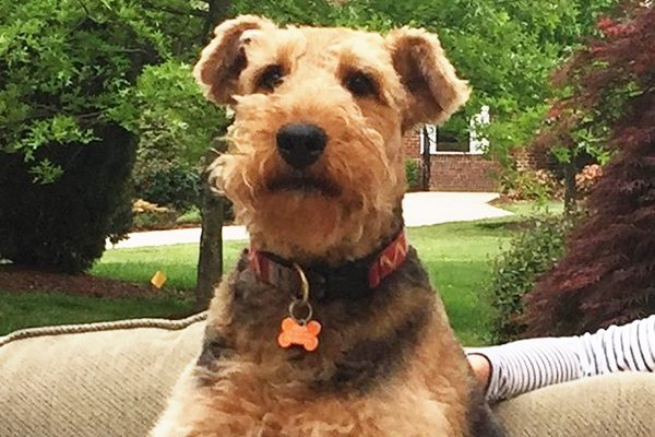 The Airedale Terrier is among the healthiest dog breeds.