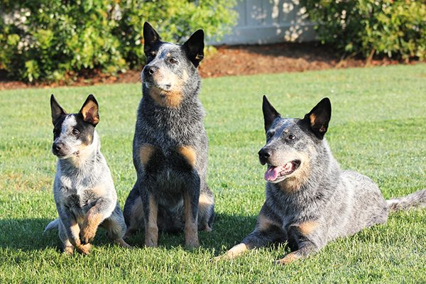 Australian Cattle Dogs.